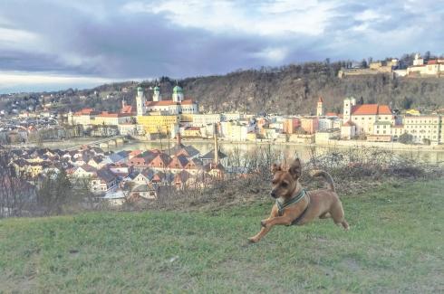 Teresas Liebling, der kleine Jack-Russell-Mix Mali, auf Mariahilf über den Dächern Passaus. Von dort hat meinen hervorragend Blick über die Altstadtzunge mit Dom inklusive Oberhaus (Foto-Winderl)