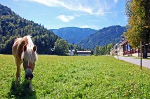 Eine idyllische Anlage - wie gemalt so schön. Hier mit einem Haflinger der Wittelsbacher vor der Wiese von Wildbad Kreuth. (Foto: Winderl)